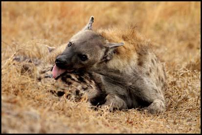 Hyena Den at Picininni