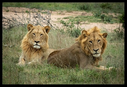 Young Male Lions