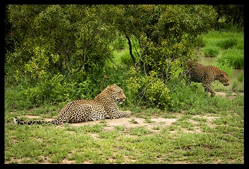 Female Leopard and Son