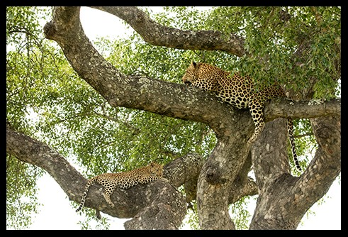 Male and Female Leopard in Tree