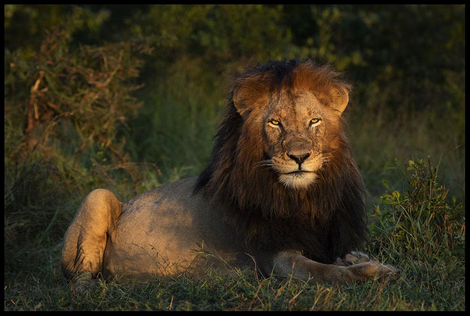Ottawa Male Lion